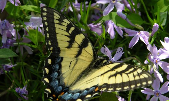 Attract Butterflies With the Plants in Your Garden