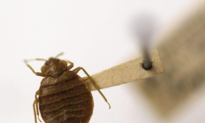 FILE - In this Wednesday, March 30, 2011 file photo, a bed bug is displayed at the Smithsonian Institution National Museum of Natural History in Washington. A government study counted one death and 80 illnesses linked to bedbug-targeting insecticides used from 2008 through 2010. Many were do-it-yourselfers who misused the chemicals or used the wrong product. Most of the cases were in New York City, the apparent epicenter of a recent U.S. bedbug comeback. (AP Photo/Carolyn Kaster, File)