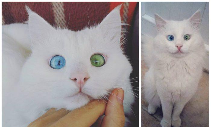Aloş the van cat. (Courtesy of kedialos)