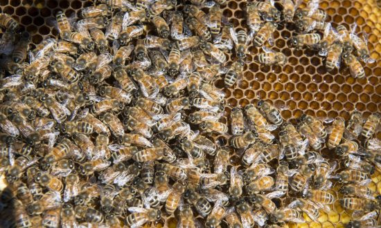 Texas Community on the Lookout for Arson Suspect After Half a Million Bees Killed