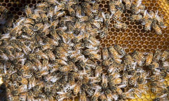 Virginia Tornado Cracks Open Tree, Releases 70,000 Bees