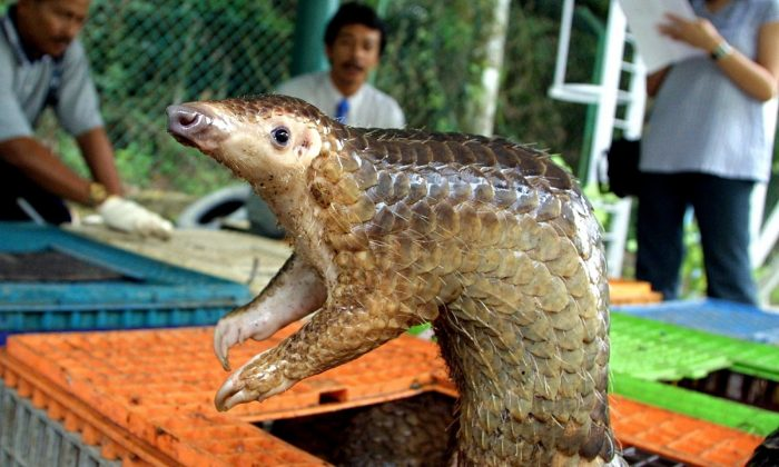 A Malayan pangolin is seen out of its cage after being confiscated by the Department of Wildlife and Natural Parks in Kuala Lumpur, 08 August 2002. (JIMIN LAI/AFP/Getty Images)