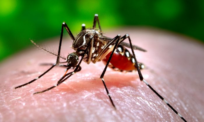 This 2006 photo made available by the Centers for Disease Control and Prevention shows a female Aedes aegypti mosquito acquiring a blood meal from a human host at the Centers for Disease Control in Atlanta. The Chikungunya virus, spread by mosquitoes such as this and the Aedes albopictus species, causes fever and agonizing joint pain that can last for months. (AP Photo/Centers for Disease Control and Prevention, James Gathany)