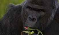 Police Investigating Shooting of Gorilla at Cincinatti Zoo