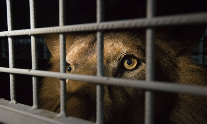 An African lion that was born in captivity and used in circuses around South America, arrives in Ekurhuleni, Gauteng, South Africa, after being airlifted and rescued by Animal Defenders on April 30. The group rescued 33 lions and will bring them to the natural African bush at Emoya Big Cat Sanctuary in South Africa. (AFP/Getty Images)