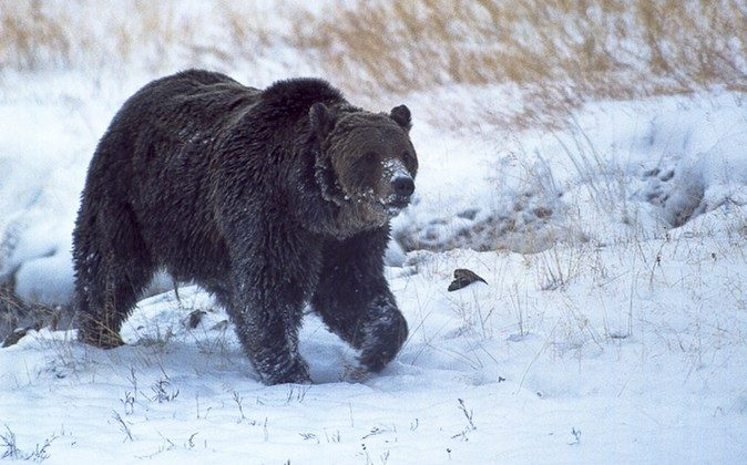 """FILE - In this Oct. 2005, file Well-known Yellowstone National Park grizzly bear known as """"Scarface."""" Montana wildlife officials have confirmed that the grizzly bear was shot and killed during a confrontation with a hunter north of Gardiner last fall.  (Ray Paunovich via AP)"""