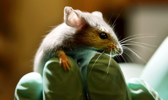 A laboratory mouse as it looks over the gloved hand of a technician at the Jackson Laboratory, in Bar Harbor, Maine, on Jan. 24, 2006. (AP Photo/Robert F. Bukaty)