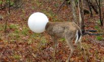 Deer's Head Stuck in a Light Globe for Nearly Two Days