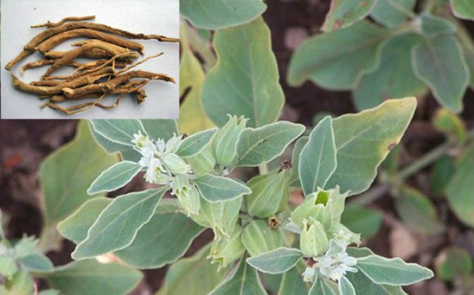 While ashwagandha leaves have some medicinal properties, herbalists primarily use the roots. (Public domain)