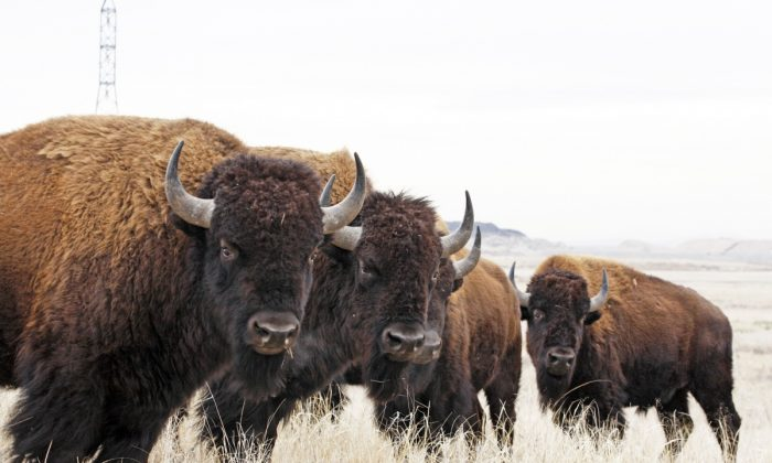 North American Bison at Rocky Mountain Arsenal National Wildlife Refuge in Colorado. (Jim Carr/U.S. Fish and Wildlife Service)