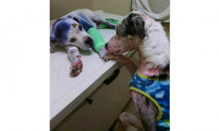 In this loving photo, Simon (R) comforts Sammie as he recovers. (YouCaring.com)