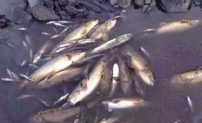 Dead fish in the Liqu river in western Sichuan Province, China. (Sina Weibo)