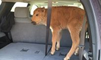 Woman Harassed After Wrongfully Blamed for Causing Baby Bison Death