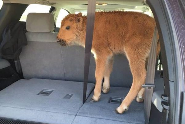 Bison calf in Yellowstone National Park that two tourists placed in their car trunk out of concern for its livelihood. (Photo was taken by Karen Richardson, who had no relation to the people who placed the animal in their car)