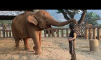 Video: Elephant Falls Asleep to Woman's Lullaby