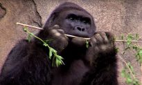 Expert Agrees With Cincinnati Zoo's Decision to Shoot Gorilla
