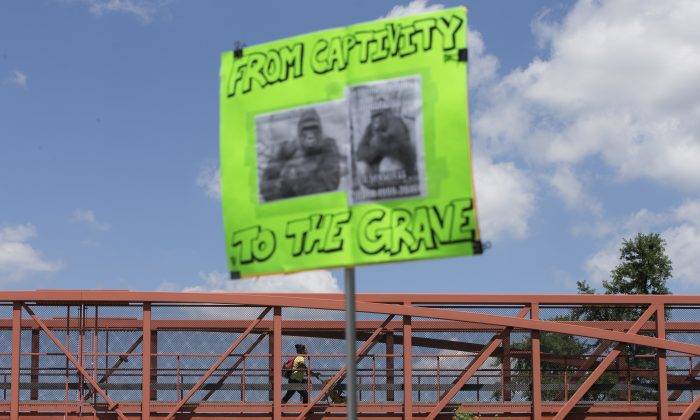 A  sign is held outside the Cincinnati Zoo & Botanical Garden during a demonstration as a zoo visitor enters the grounds via a foot bridge, Monday May 30, 2016, in Cincinnati. Animal rights activists and mourners gathered Monday for a Memorial Day vigil for the Harambe, a gorilla killed at the Cincinnati Zoo Saturday after a 4-year-old boy slipped into an exhibit and a special zoo response team concluded his life was in danger. There has been an outpouring on social media of people upset about the killing of the member of an endangered species. (AP Photo/John Minchillo)