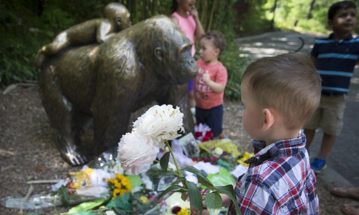 A boy brings flowers to put beside a statue of a gorilla outside the shuttered Gorilla World exhibit at the Cincinnati Zoo & Botanical Garden, in Cincinnati on May 30, 2016. (AP Photo/John Minchillo)
