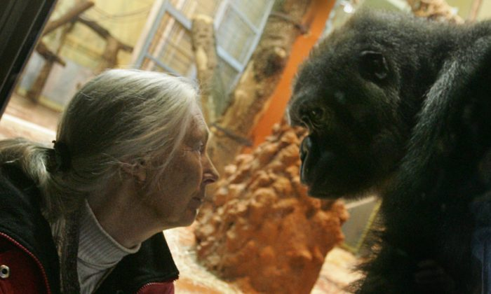 UN peace messenger and British primatologist Jane Goodall, the world's famous authority on chimpanzees, waits for a meeting with a gorilla family in front of a window at the Zoo Park and Botanic Garden in Budapest on February 11, 2008 during her visit to Hungarian capital. (Attila Kisbenedek/AFP/Getty Images)
