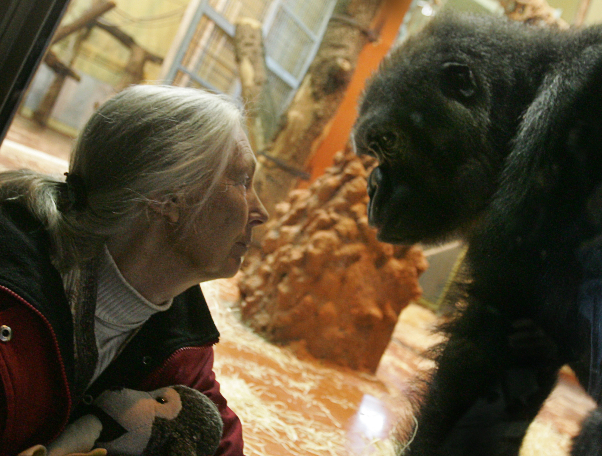 Jane Goodall: Cincinnati Zoo Had No Choice But to Kill Harambe the Gorilla