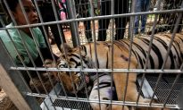 40 Dead Tiger Cubs Found in Freezer at Thailand's Tiger Temple During Raid (Warning: Graphic Images)