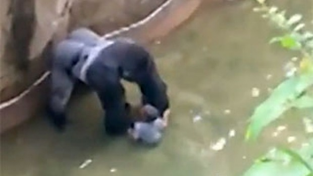 Ohio Prosecutor to Decide on Charges in Gorilla Case