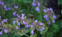 Sage – The Herb of Wisdom