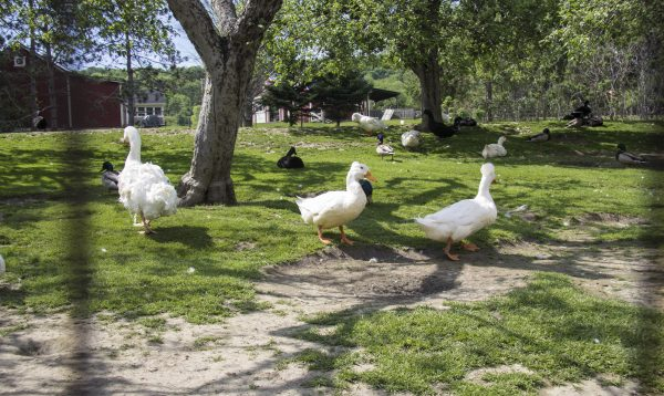 Ducks roam the orchard area of the Fly Creek Cider Mill. (Channaly Philipp/Epoch Times)