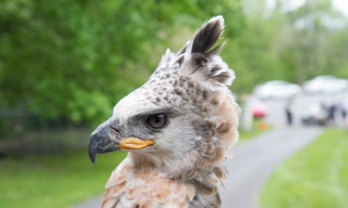Cain, a 2.5-year-old crowned eagle from Tanzania in Goshen on May 14, 2016. (Holly Kellum/Epoch Times)