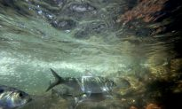 DEC Seeks Volunteers for Fish Count on Hudson River