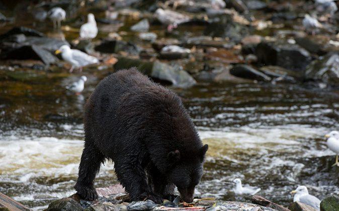American black bear (Ursus americanus) feeding on salmon eggs (roe) at creek at Neets Bay fish hatchery, Behm Canal in Southeast Alaska near Ketchikan, USA. (Wolfgang Kaehler/LightRocket/Getty Images)