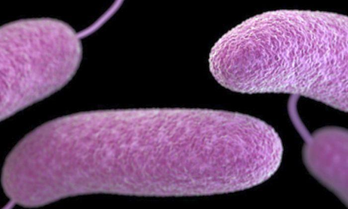 A type of Vibrio bacteria (CDC.gov)