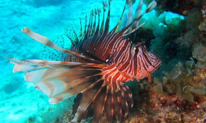 Lionfish at Cyclops Caves, Protaras, Cyprus. (Courtesy of Wolf Werner via Plymouth University)