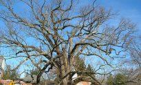 Basking Ridge Citizens Mourn at Prospect of 600-Year-Old Oak Tree Dying