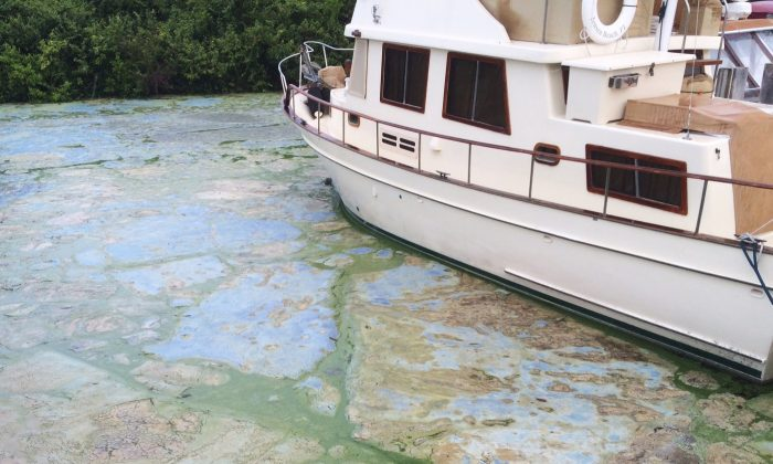 Algae covered water at Stuart's Central Marine boat docks is thick, Thursday, June 30, 2016, in Stuart, Fla. Officials want federal action along a stretch of Florida's Atlantic coast where the governor has declared a state of emergency over algae blooms. The blue-green algae is the latest contaminant in yearslong arguments over water flowing from Lake Okeechobee. Lawmakers say a southwest Florida county should be added to the state of emergency declared over an algae bloom on the Atlantic coast. (AP Photo/Terry Spencer)