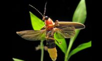 June Weather Means Fireflies Are Showing, Lawns Are Glowing