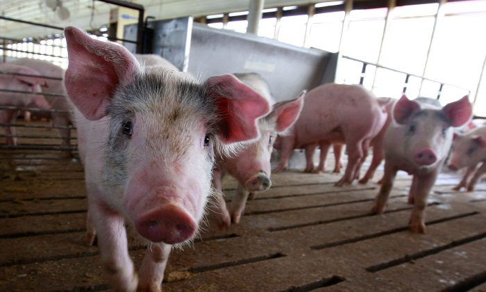 Hogs are seen on a pig farm in Iowa in a file photo from 2009. U.S. pig exports to China have increased this year on pig shortages in China. (Photo by Scott Olson/Getty Images)
