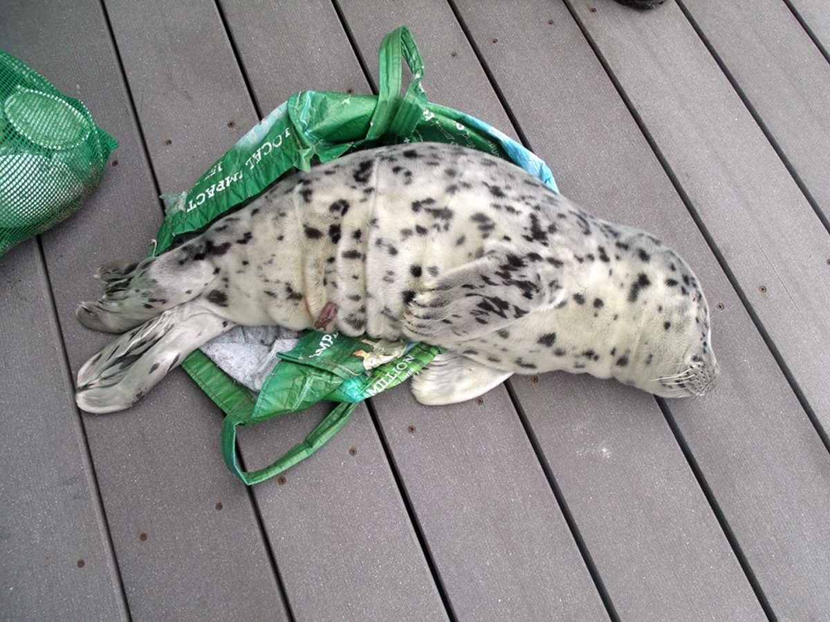 In this May 21, 2016, photo provided by the Westport Aquarium, a baby seal is seen laying across a shopping tote used to carry it off a beach in Westport, Wash. (Marc Myrsell/Westport Aquarium via AP)