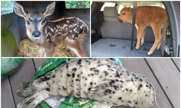 Top left: A fawn snatched from its mother in Pierce County, Wash. (Washington Department of Fish and Wildlife); Top right: Bison calf in Yellowstone National Park that two tourists placed in their car trunk out of concern for its livelihood. (Photo taken by Karen Richardson); and Bottom: A baby seal is seen laying across a shopping tote used to carry it off a beach in Westport, Wash., May 21, 2016. (Marc Myrsell/Westport Aquarium via AP)
