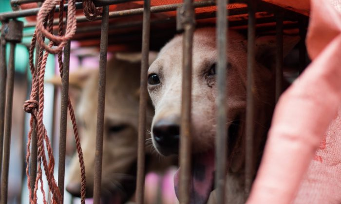 A dog looks out from its cage at a stall as it is displayed by a vendor in Yulin, Guangxi province on June 22, 2015.(Johannes Eisele/AFP/Getty Images)