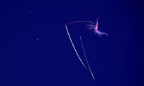 Deep Sea Explorers Encounter Shrimp With 'Chopstick' Antennae (Video)