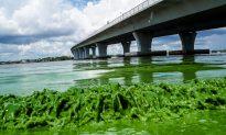 Toxic Algae Rampant in California, Also Spreading Nationwide