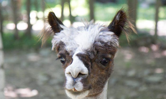 Absolute Shocker, an 11-year-old alpaca at Rock Ridge Alpacas in Chester on July 17, 2016. (Holly Kellum/Epoch Times)