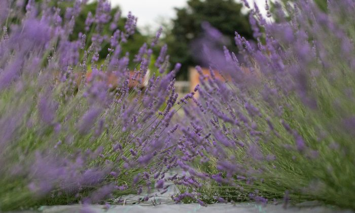 London once proudly produced lavender on a large scale for medicine and household products. Carshalton Lavender is a not-for-profit organisation bring London's lost lavender fields back to life. (photocraft.org.uk)