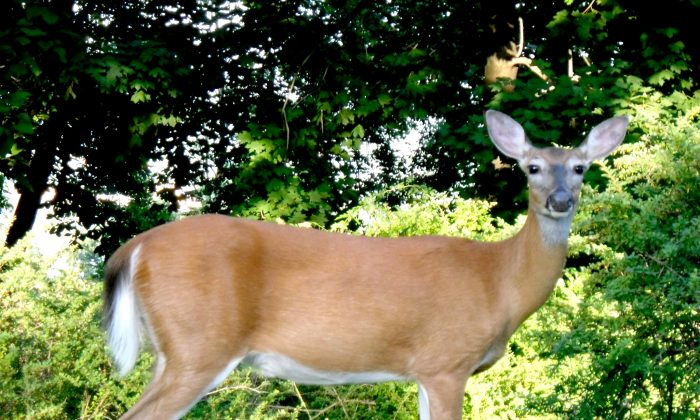 Picture of a whitetail deer in Stony Point, New York, on June 20, 2010. (Doug Kerr|Flickr|CC BY-SA 2.0)