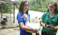 Chickens Flock Back to State Fairs After Bird Flu Outbreak