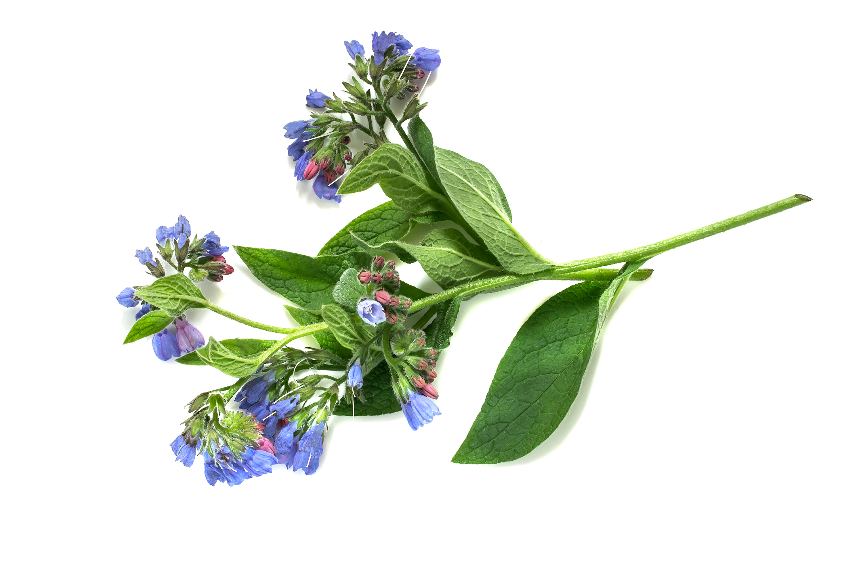 Clary Sage for a Calm Mind and Hormonal Balance