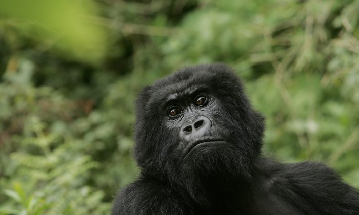 In this Nov. 30, 2007 file photo, a gorilla looks on at Volcanoes National Park in Ruhengeri, Rwanda. The eastern gorilla has been listed as critically endangered, making four of the six great ape species only one step away from extinction, according to the International Union for the Conservation of Nature's Red List of Endangered Species, released Sunday Sept. 4, 2016. (AP Photo/Themba Hadebe, File)