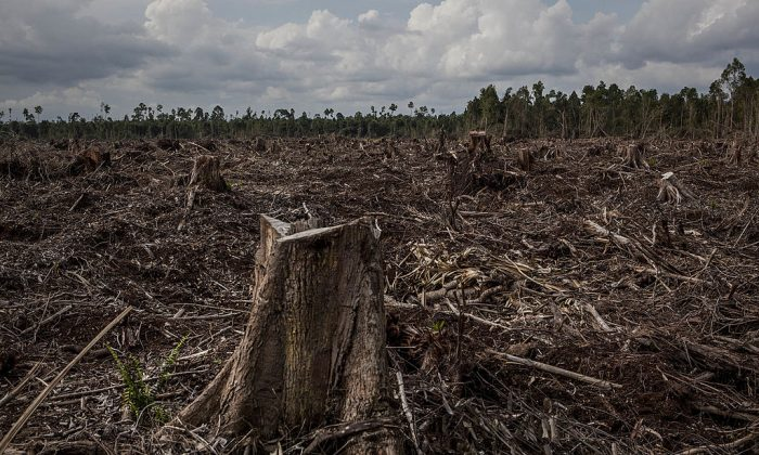 Stumps in a deforested area developed for a pulp and paper plantation in Sumatra, Indonesia, on July 11, 2014. (Ulet Ifansasti/Getty Images)