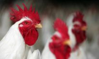 CDC Warns: Don't Kiss Your Chicken